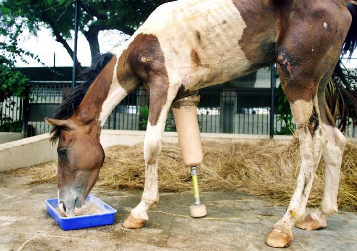 caballo parado comiendo con una prótesis en la pata delantera
