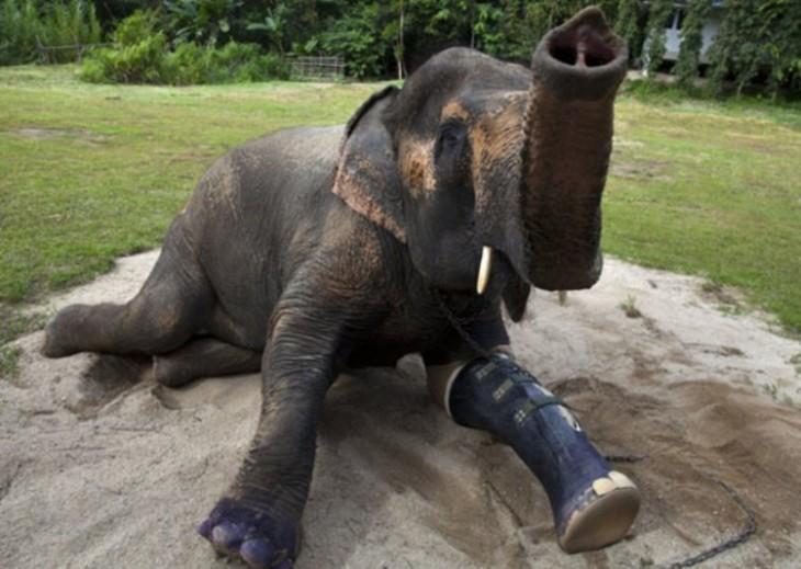 Elefante acostada en el piso con una prótesis en una pata delantera