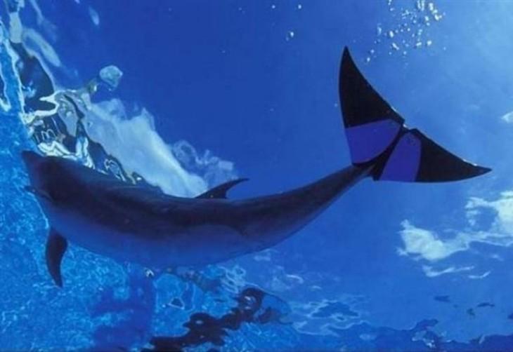Imagen de un delfín con una prótesis en su cola