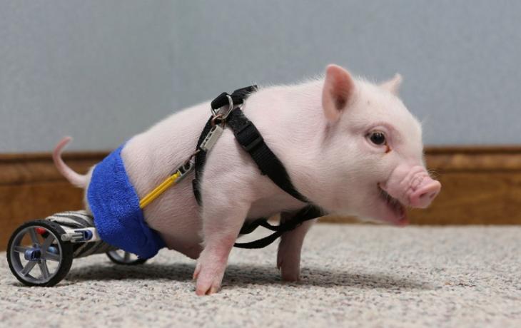 Un pequeño cerdito con una prótesis en sus patas traseras