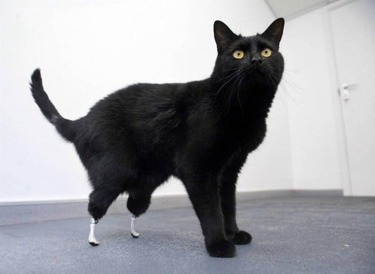Un gato negro con dos prótesis en las patas traseras