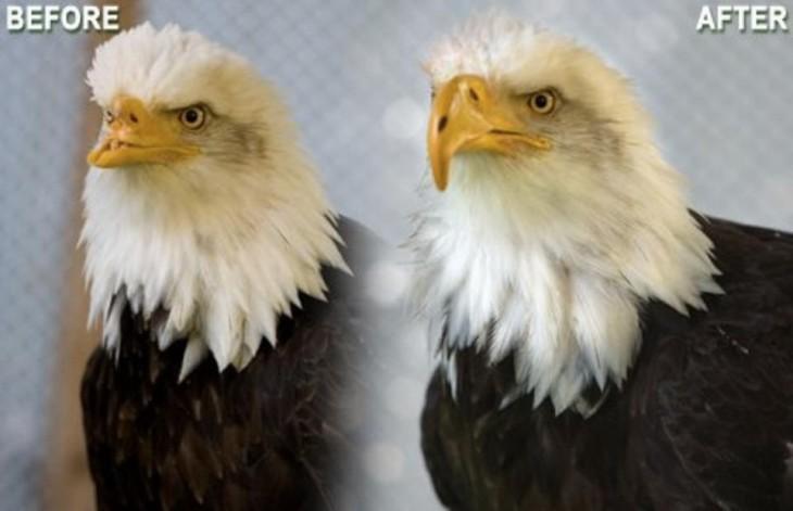 El antes y el después de una águila que perdió su pico