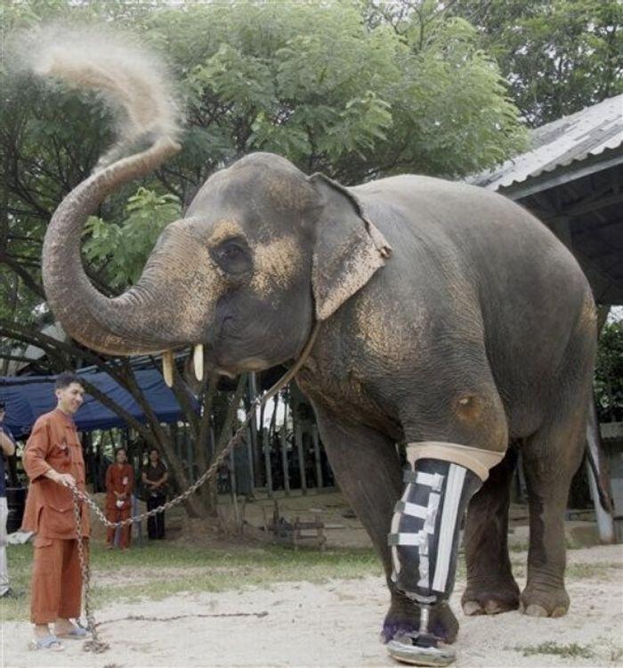 La elefante Montala de pie tirada por una cadena en su hogar
