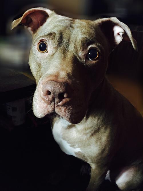 Perro pitbull con mirada tierna