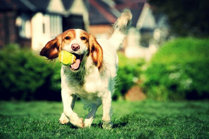 Perro corriendo con una pelota en el hocico
