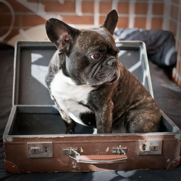 Perro Bulldog Francés en una maleta