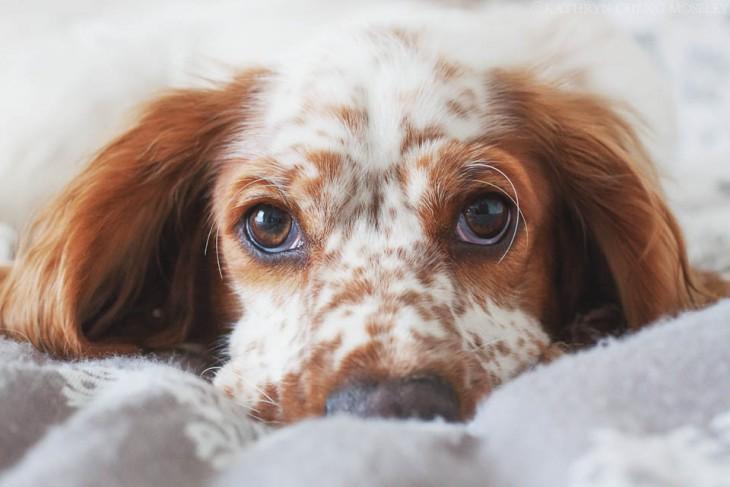Perro cocker acostado en la cama