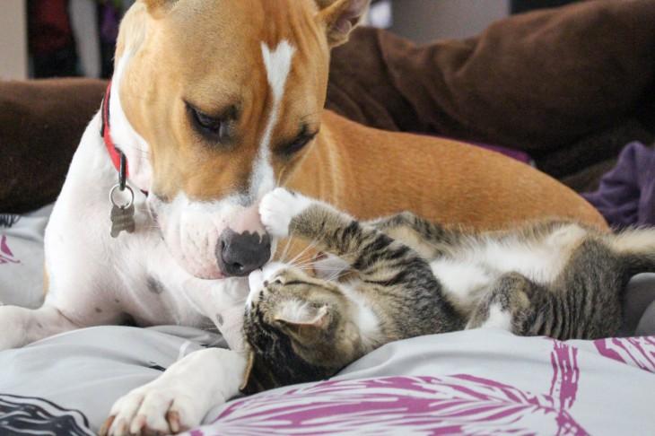 Pitubll jugando con un gato en la cama
