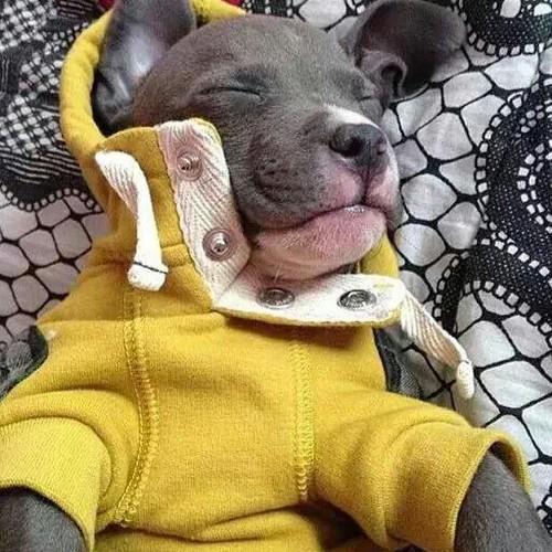 Perro pitbull con suéter amarillo