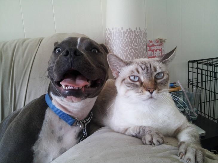 Perro pitbull arruinando la foto de un gato