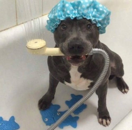 perro pitbull negro en una bañera