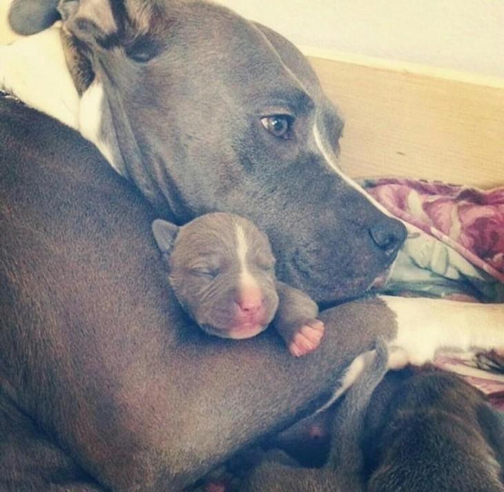 Cachorro pitbull con su mamá
