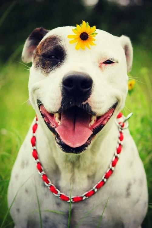 Perro pitbull sonriendo con una flor en la cabeza