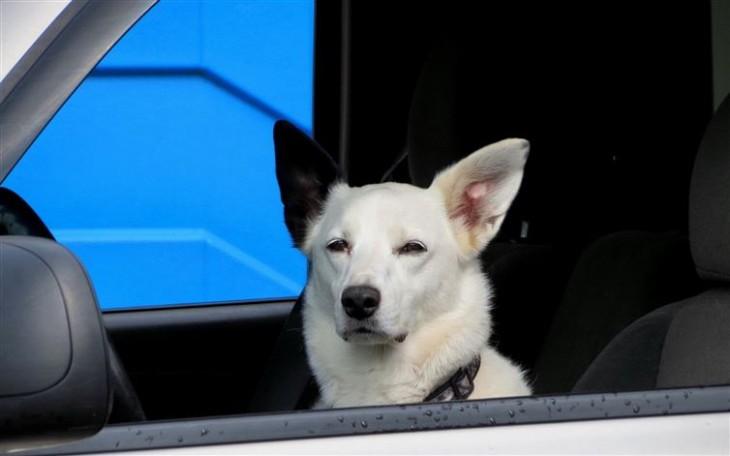 perro blanco enojado mientras esta en el coche