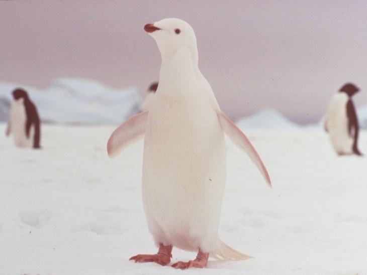 pinguino blanco en antartida