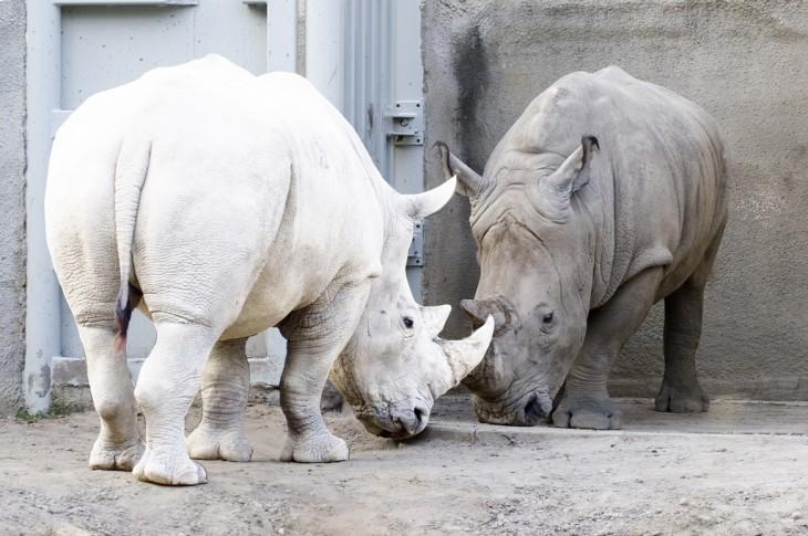 dos rinocerontes donde hay uno blanco