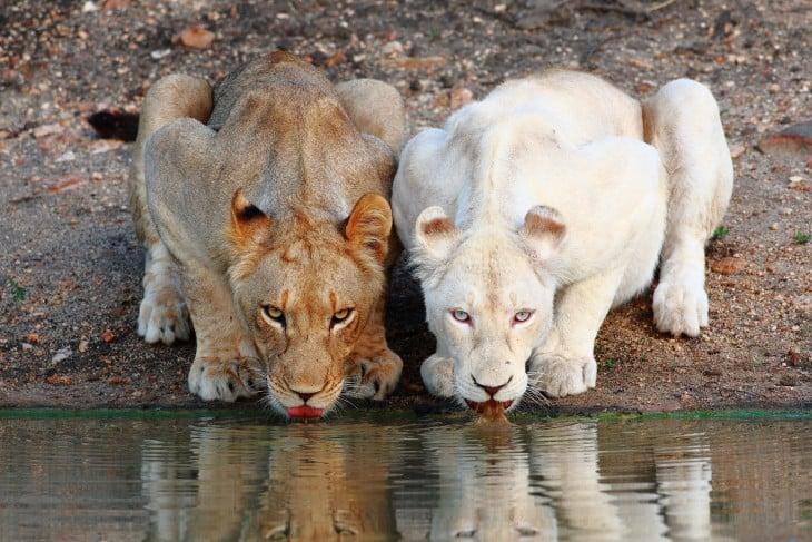 dos leonas  y una es blancos