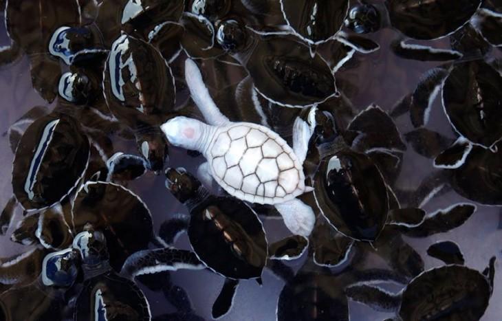 tortuga blanca nadando con normales