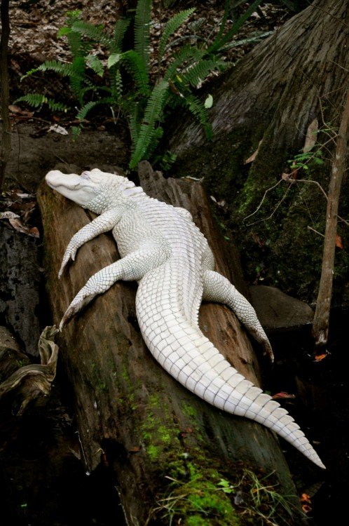 cocodrilo blanco durmiendo