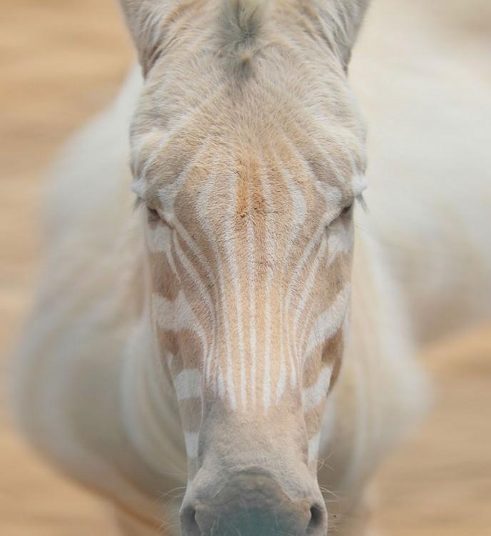 cebra blanca