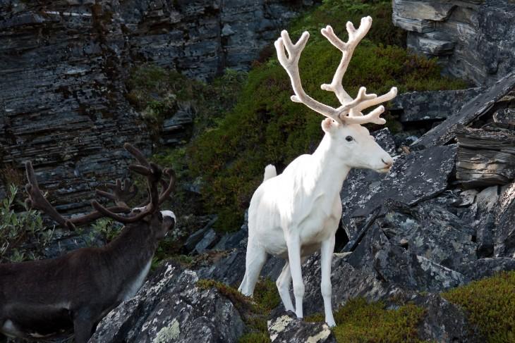 reno blanco en el bosque