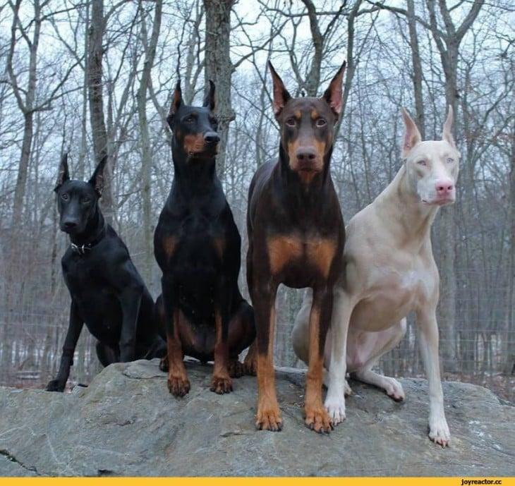 4 dobermanes donde hay uno blanco