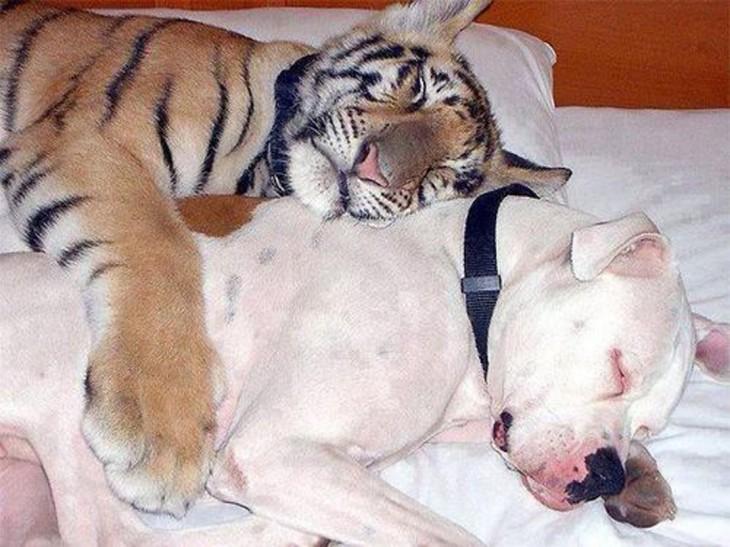 tigre durmiendo con un perrito