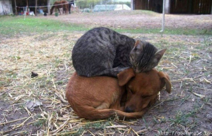 gato durmiendo arriba del perro