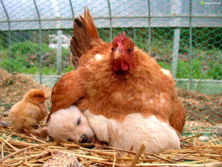 gallina con cachorro durmeindo juntos