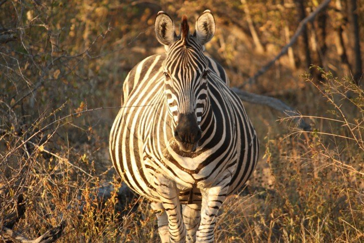 animales embarazados zebra