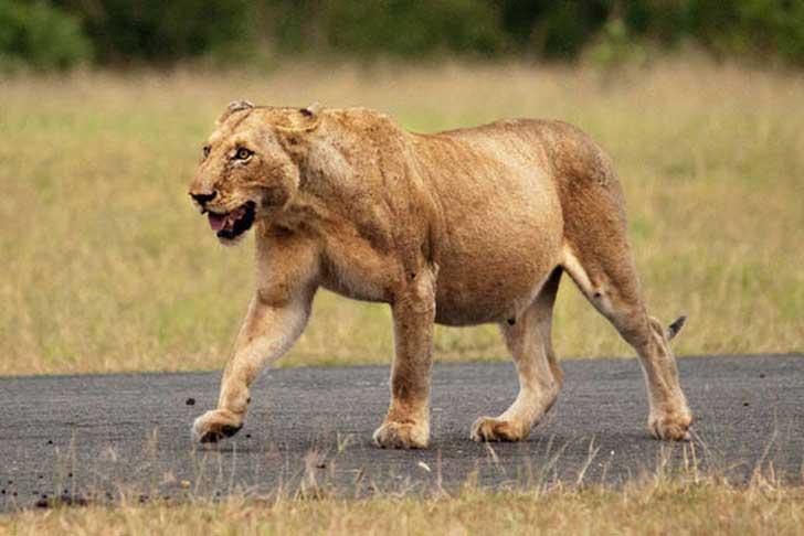 animales embarazados leona