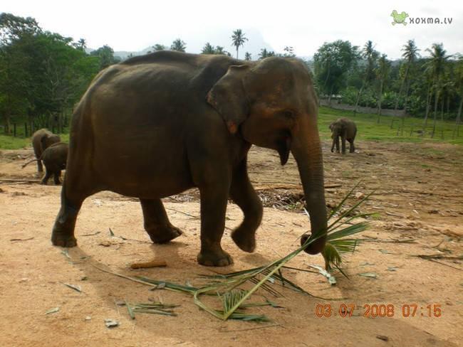 animales embarazados Elefante