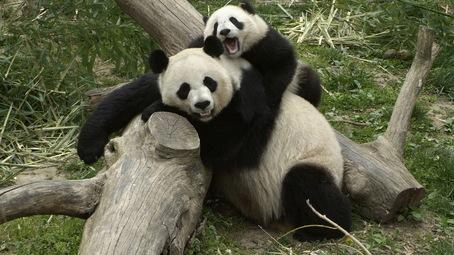 animales embarazados Pandas