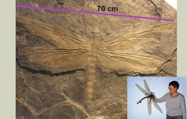 libelula gigante fósil