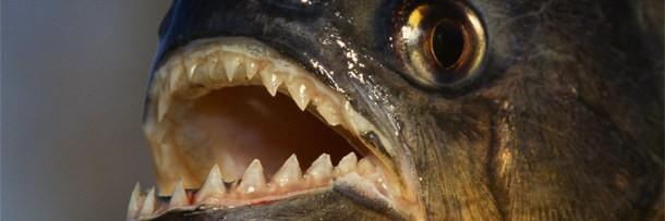 boca abierta de un pez carnivoro
