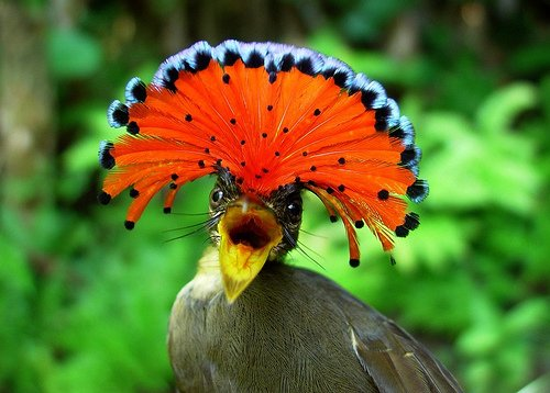 pájaro con forma de plumas de pavo real en la cabeza de color naranja y azul