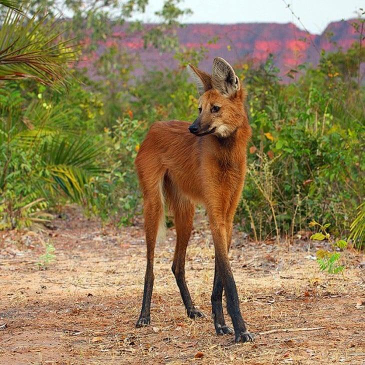 lobo de patas largas en la pradera junto a los árboles