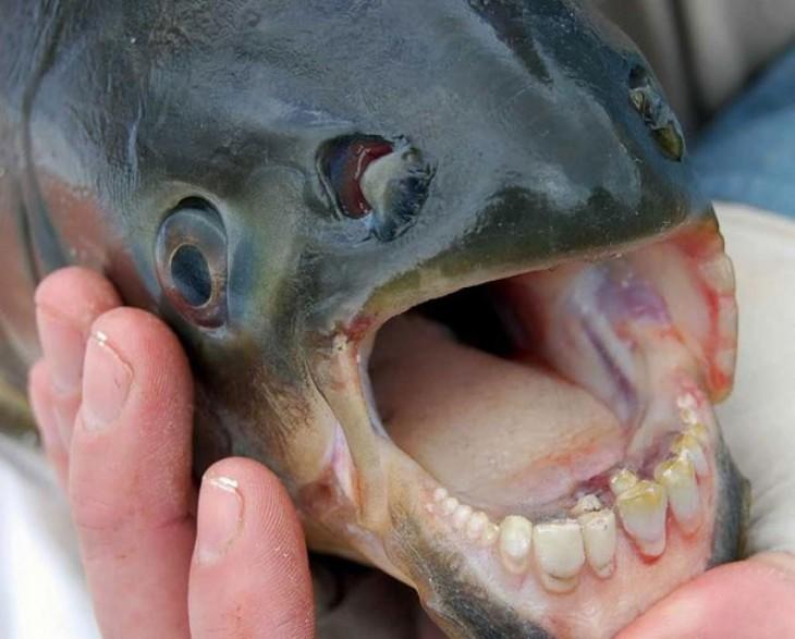 pescado con la boca abierta y dientes como de humano