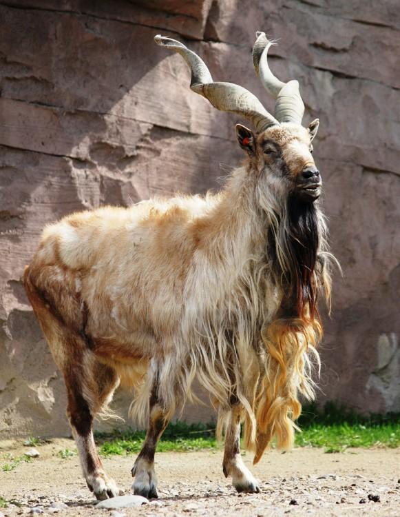 cabra de cuernos largos y enroscados parada