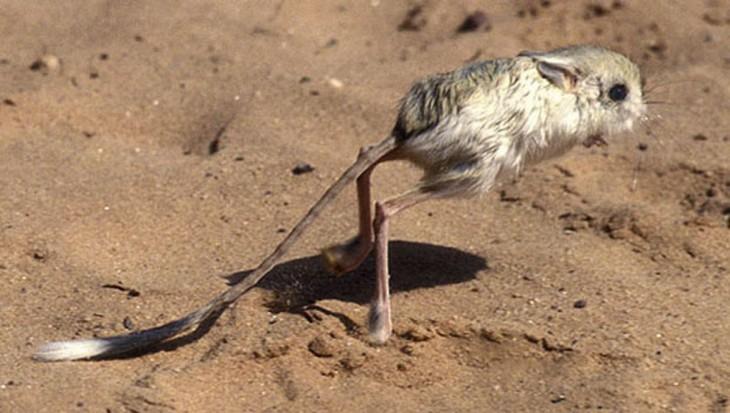 roedor de patas largas saltando en la tierra