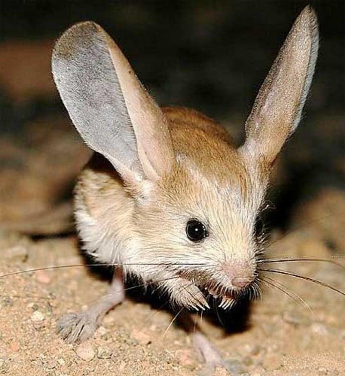 roedor de orejas largas parado en la tierra
