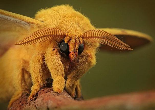 animal de color amarillo con alas, ojos grandes y antenas en forma de peine