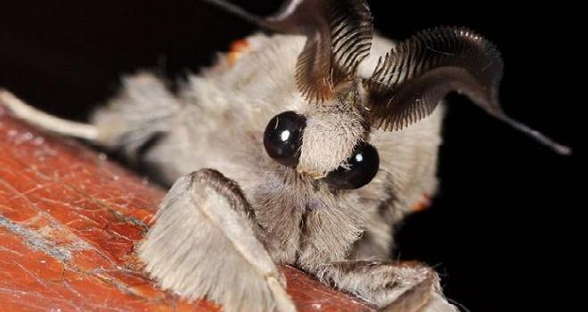 animal de color blanco con antenas en forma de peine y ojos grandes