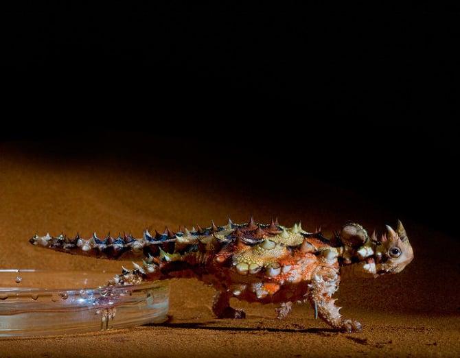 lagarto con espinas metiendo su pata en una charola con agua