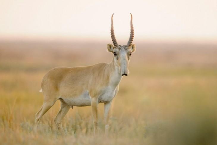 antilope con largos cuernos y nariz alargada