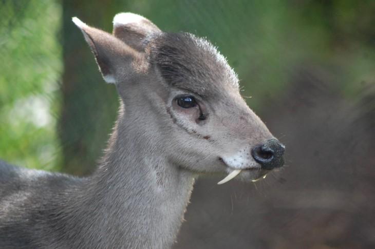 ciervo de color gris con colmillos