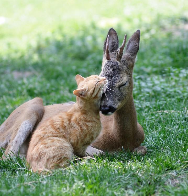 Ciervo y gato durmiendo