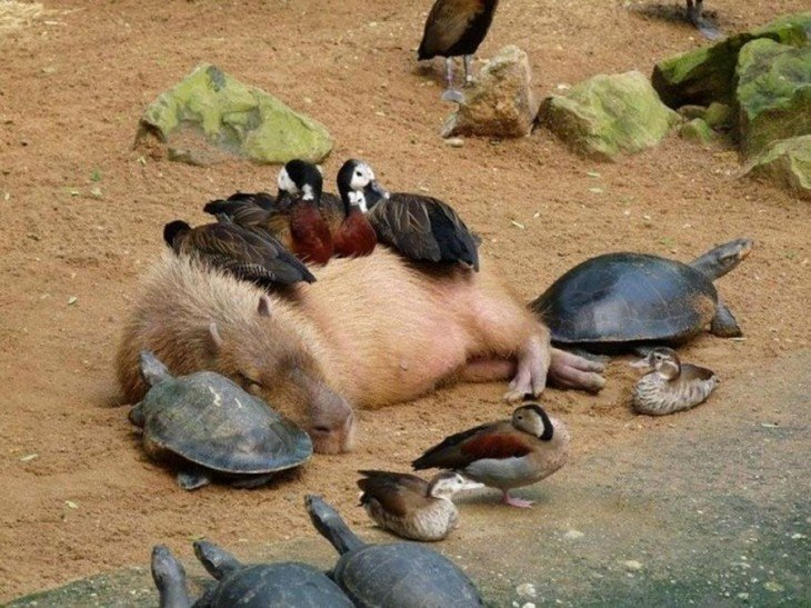 Capibara con tortugas y patos salvajes