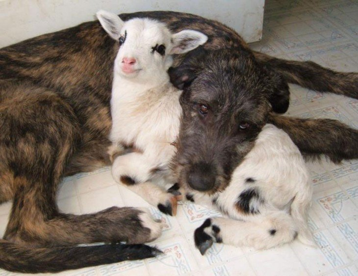 Perro y cabra durmiendo