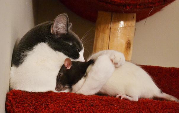 Gato y rata jugando
